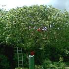 Fruit tree - crown reduction